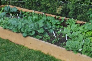 "Raised Bed Garden - Hemlock 2"" x 8"" x 10' planks"