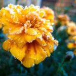 fleur givrer