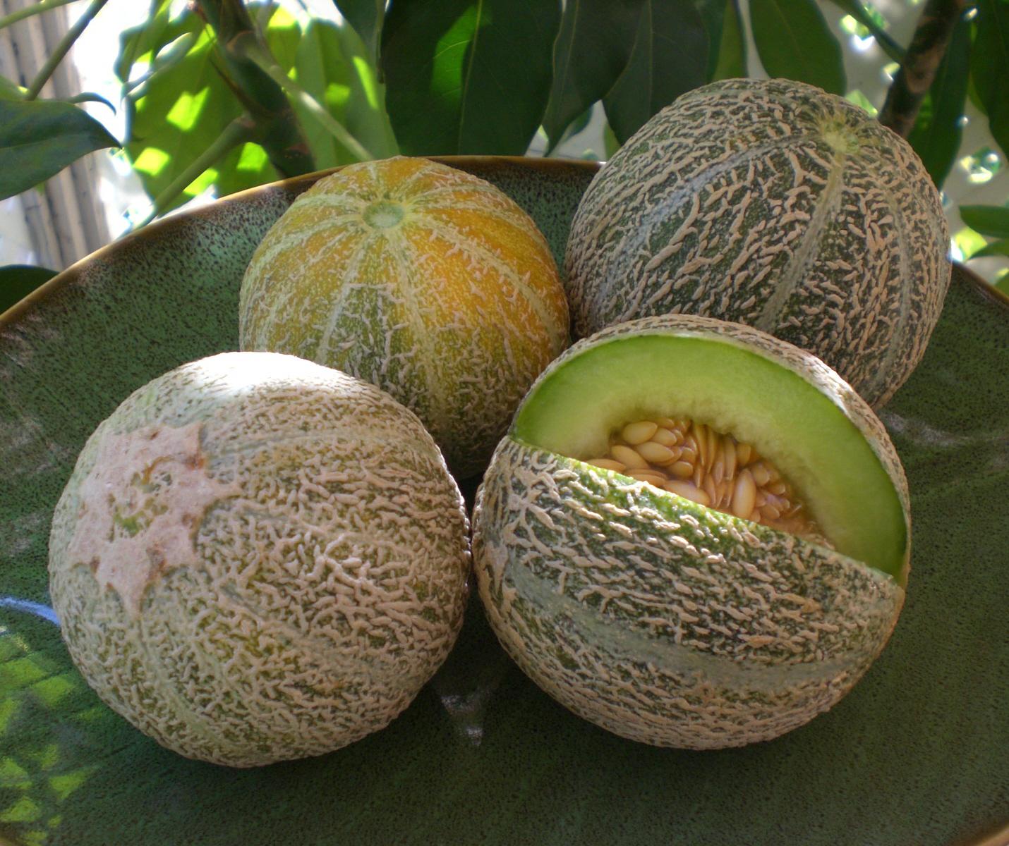 Melon eden s gem semis urbains - Quand cueillir un melon ...