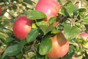 fruits-apple-tree-honeycrisp.jpg