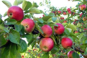 fruits-apple-tree-parkland.jpg