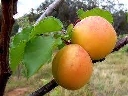 fruits-apricot-morden.jpg