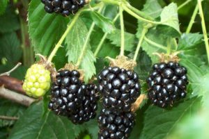 Blackberry - Chester