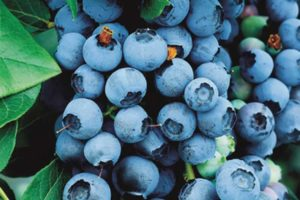 fruits-blueberry-bluecrop.jpg