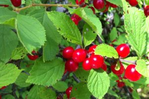 fruits-cherry-bush-crimson-passion.jpg
