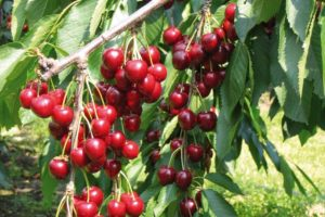 fruits-cherry-tree-stella.jpg