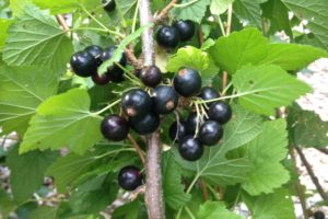 fruits-currant-consort.jpg