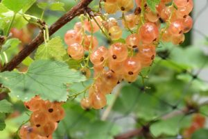 fruits-currant-pink-champagne.jpg