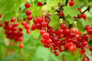 fruits-currant-red-lake.jpg
