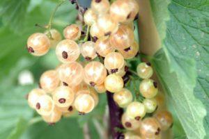 fruits-currant-white-pearl.jpg