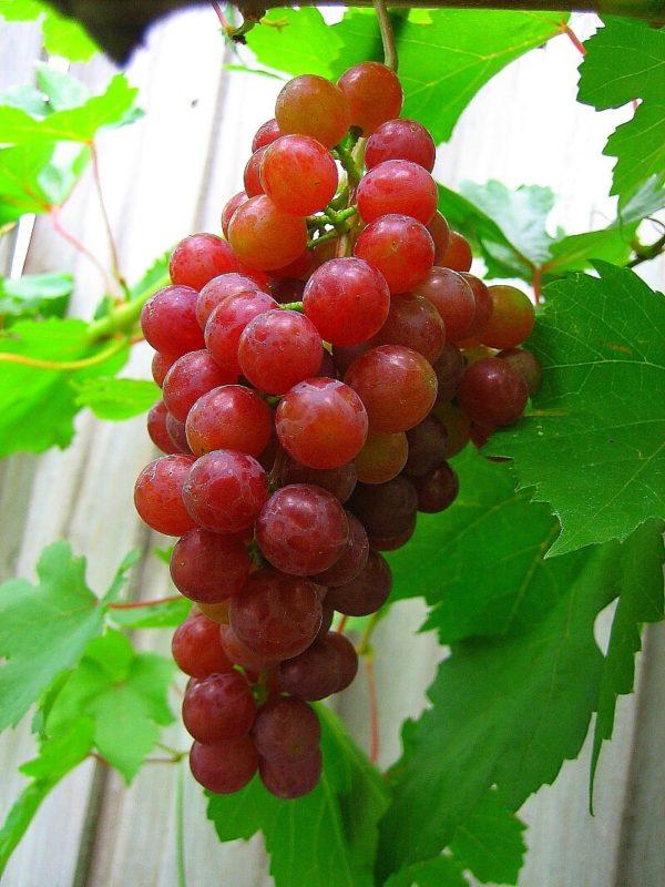 Grape - Catawba