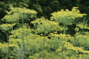 herbs-dill-bouquet.jpg