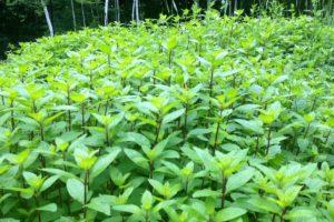 herbs-moroccan-mint.jpg