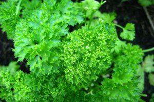 herbs-parsley-curly.jpg