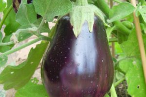 vegetables-eggplant-black-beauty.jpg