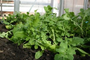 vegetables-roquette-arugula.jpg
