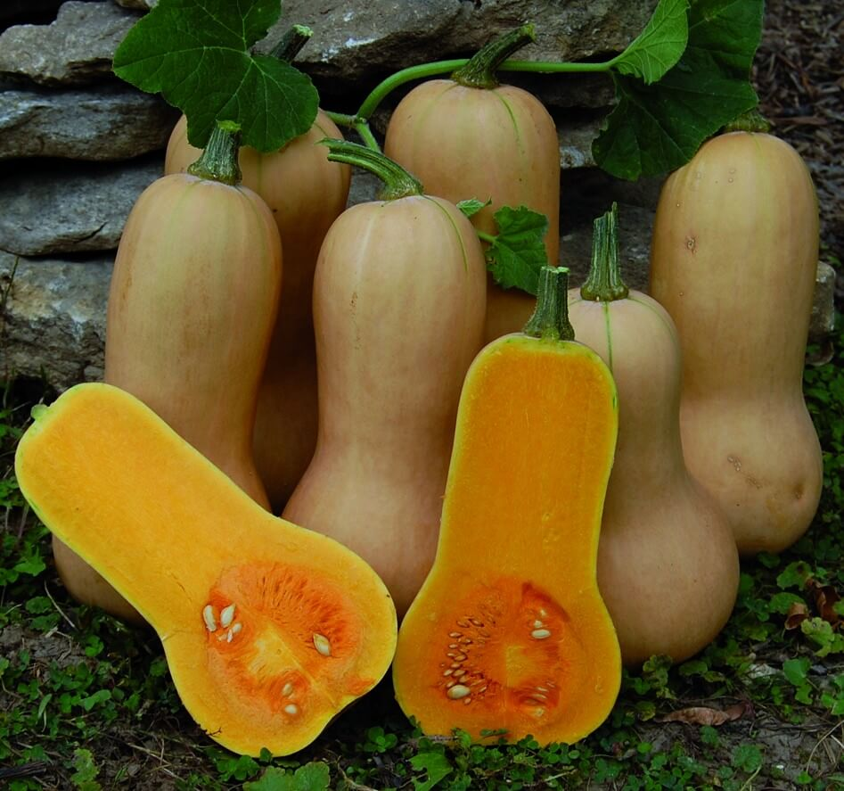 Courge waltham butternut semis urbains - Quand recolter les butternut ...