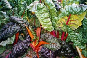 vegetables-swiss-chard-bright-lights.jpg