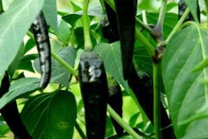 Hot Pepper Black Hungarian