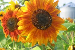 Sunflower Mix