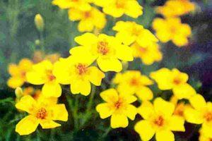 Lemon Gem Marigold