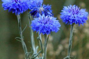 centaurea_cyanus_blue_cornflower
