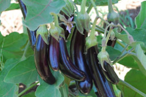 Eggplant_Little-Fingers