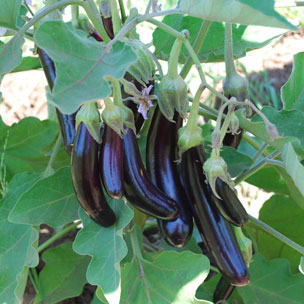 eggplant little fingers how to cook