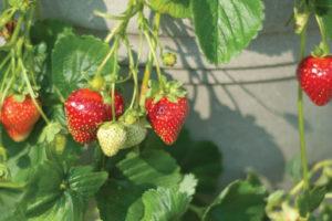 Strawberry - Seascape