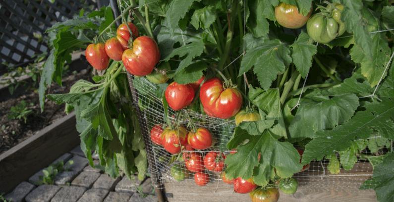 Jardin bio, tomates