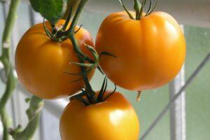 3 ripe mennonite orange tomato