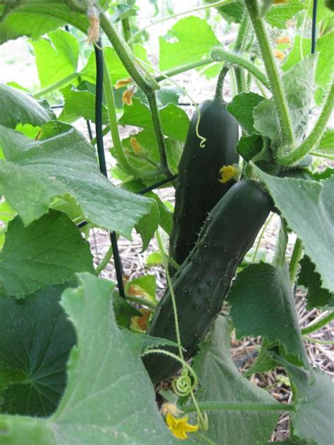 Ripe early russian cucumber