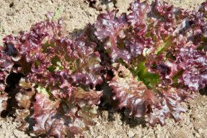 Akindus butterhead lettuce