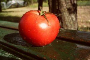 Picked moneymaker tomato