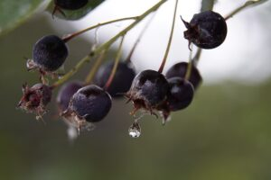 Amelanchier berries with a water drop